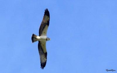 Águila Pescadora en Motondo