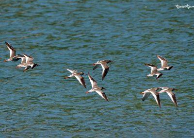 Limícolas en migración por Motondo
