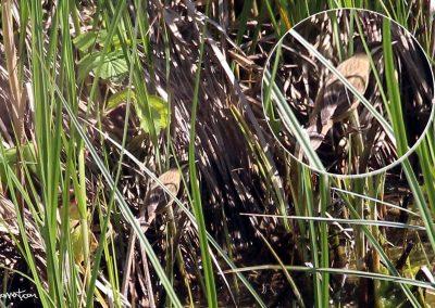 Carricerín común y limícolas por el Oria