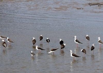 Cigüeñuelas en Zumaia
