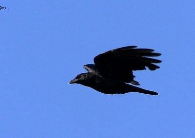 Corneja Negra