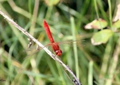 Libélula (Crocothemis erythraea)