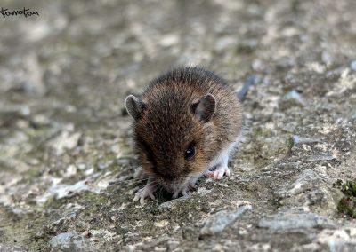 Ratón Casero