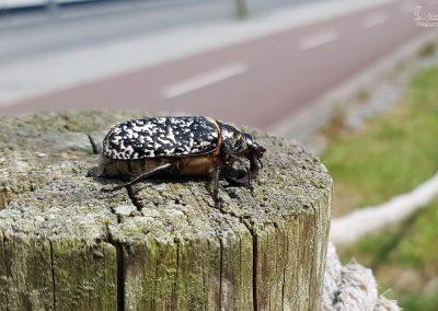 Escarabajo Batanero