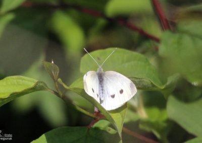 Blanquita de la Col (Artogeia rapae)