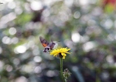 Esfinge colibel (Macroglossum stellatarum)